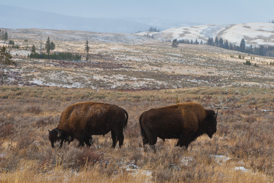 Photograph Yellowstone Buffalo by Sébastien Trudeau-Dion on 500px