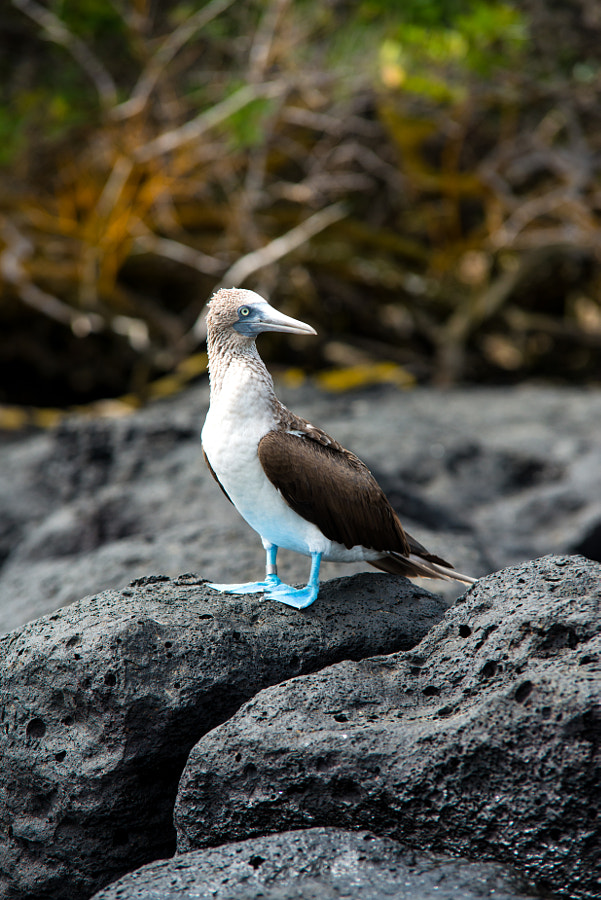 B l u e Footed Booby