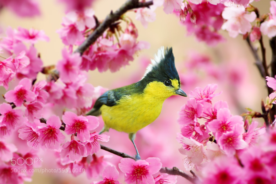 Photograph Formosan Yellow Tit and Cherry Blossoms by Sue Hsu on 500px