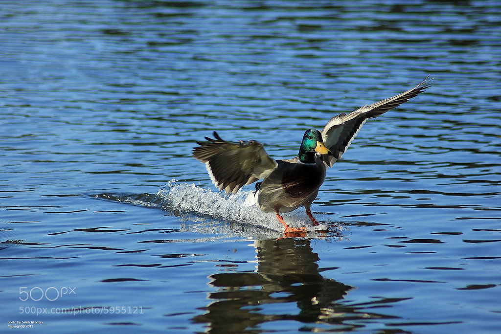 Photograph Landing ducks by saleh almozini on 500px