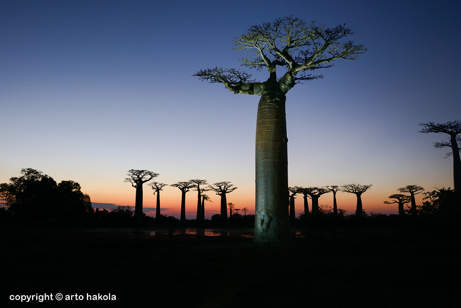 Photograph baobab avenue, menabe by Arto Hakola on 500px
