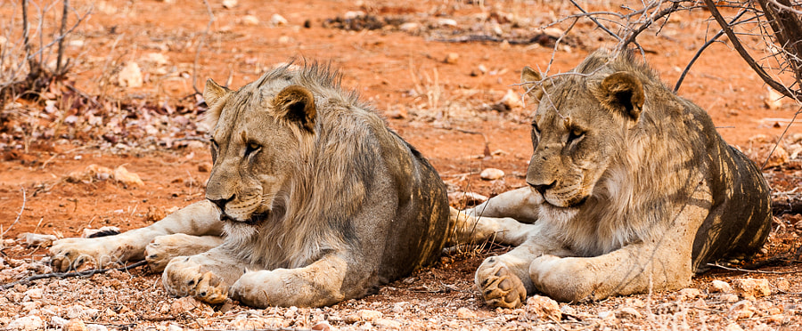 ...and the winners of the synchronized lion contest are these two young fellows from etosha!