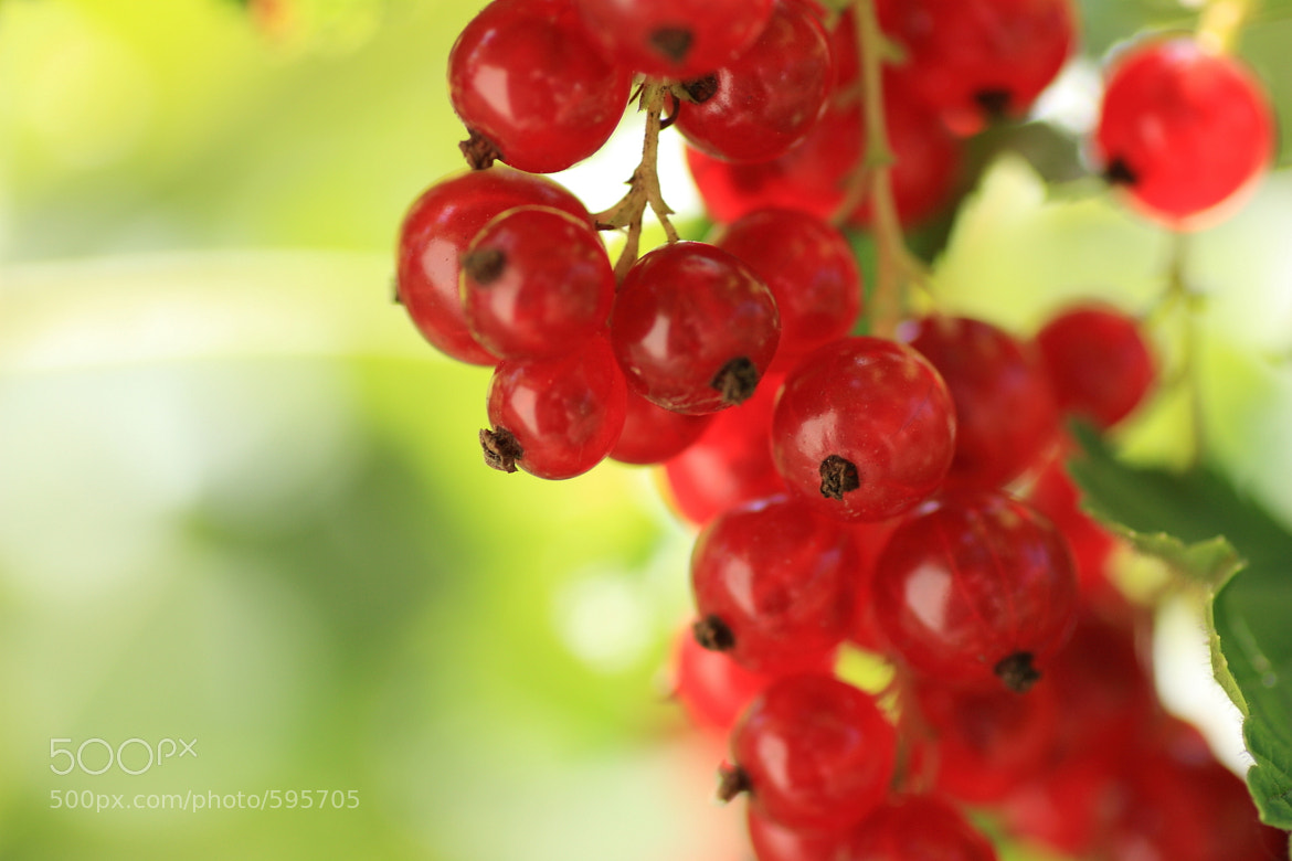 Photograph Redcurrant by Philipp K on 500px