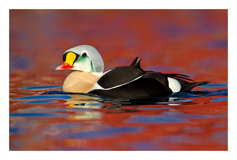 Photograph King of the Eiders by Jules Cox on 500px