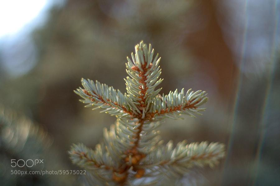 "pine needle by Selim Özköse on 500px.com"" border=""0"" style=""margin: 0 0 5px 0;"