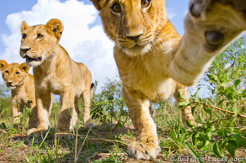 Photograph Cub Swipe by Will Burrard-Lucas on 500px