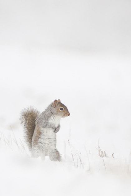 Photograph Grey Squirrel - In Snow by George Wheelhouse on 500px