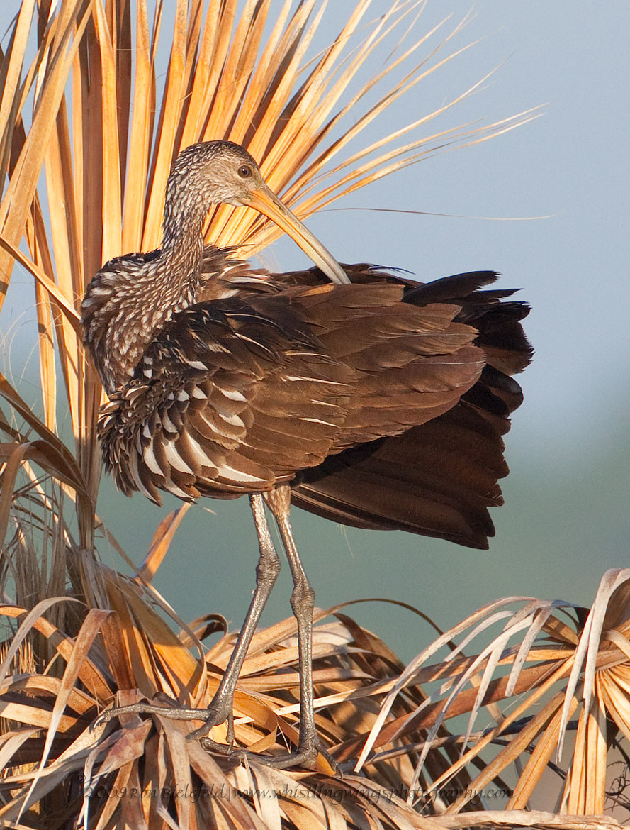 Photograph Limpkin Preening by Ron Bielefeld on 500px