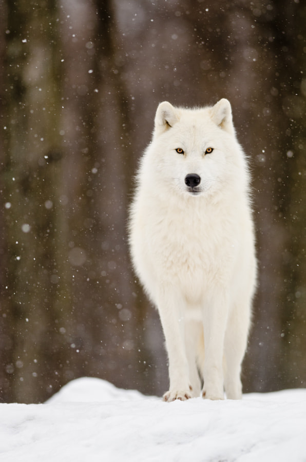 Winter wolf by Maxime Riendeau on 500px.com