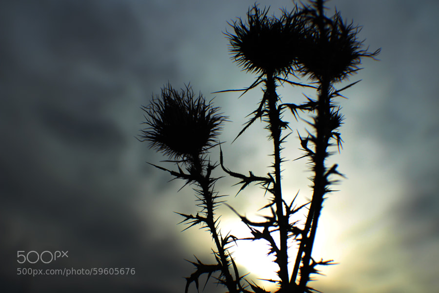 Thistles Silhouette by Jeff Carter on 500px.com
