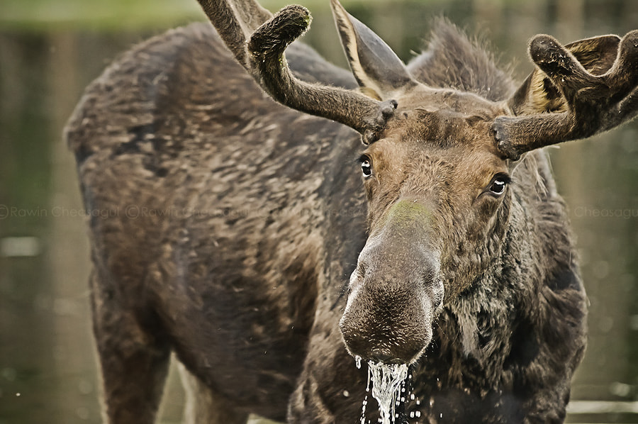 Photograph Dripping Moose by Rawin Cheasagul on 500px