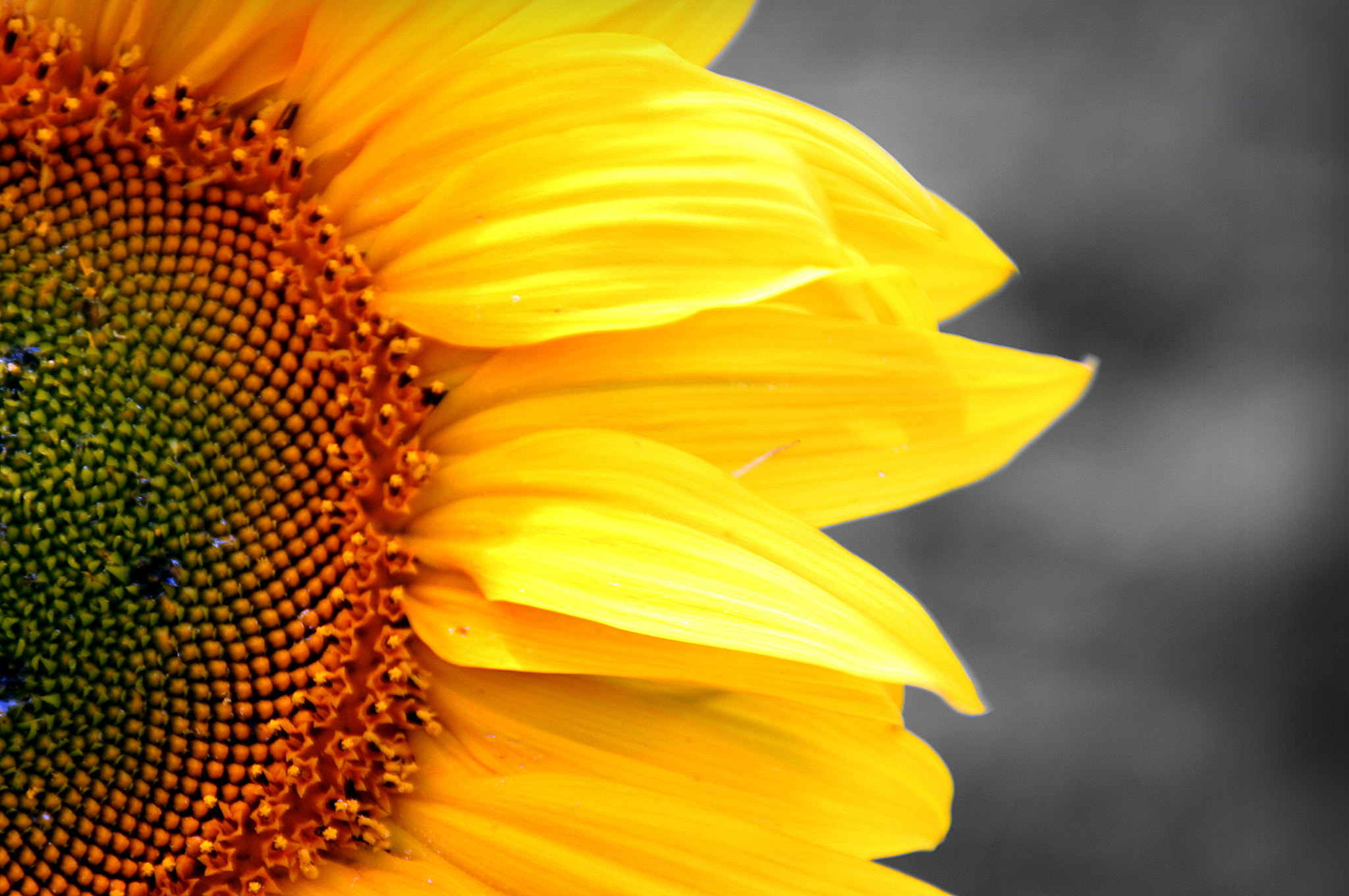 Photograph Sunflower by Vanessa  Arellano on 500px