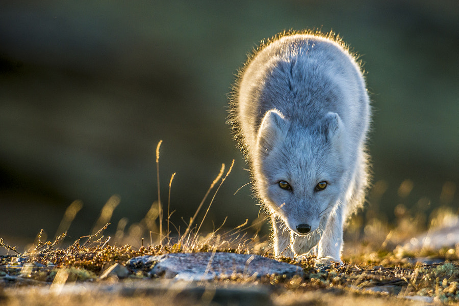 Mountain fox in low sunlight by Trond Eriksen on 500px