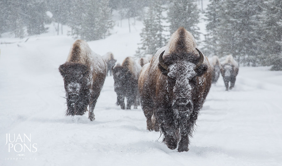 Photograph Snowy Bison, Yellowstone National Park by Juan Pons on 500px