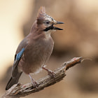Jay in the wind