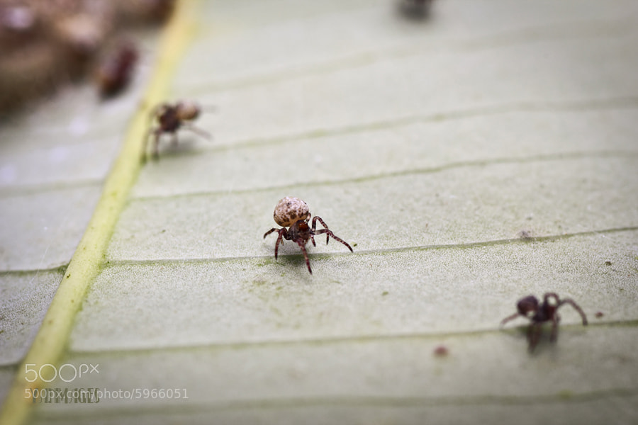 Photograph Tiny Spider by Rattlin . on 500px
