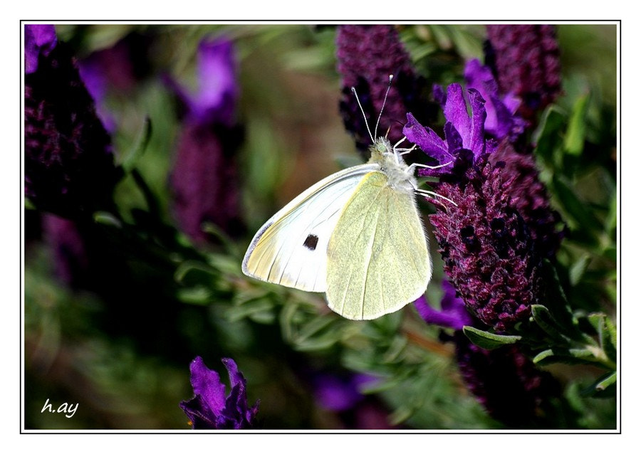 Photograph Pieris brassicae  by HUSEYIN AY on 500px