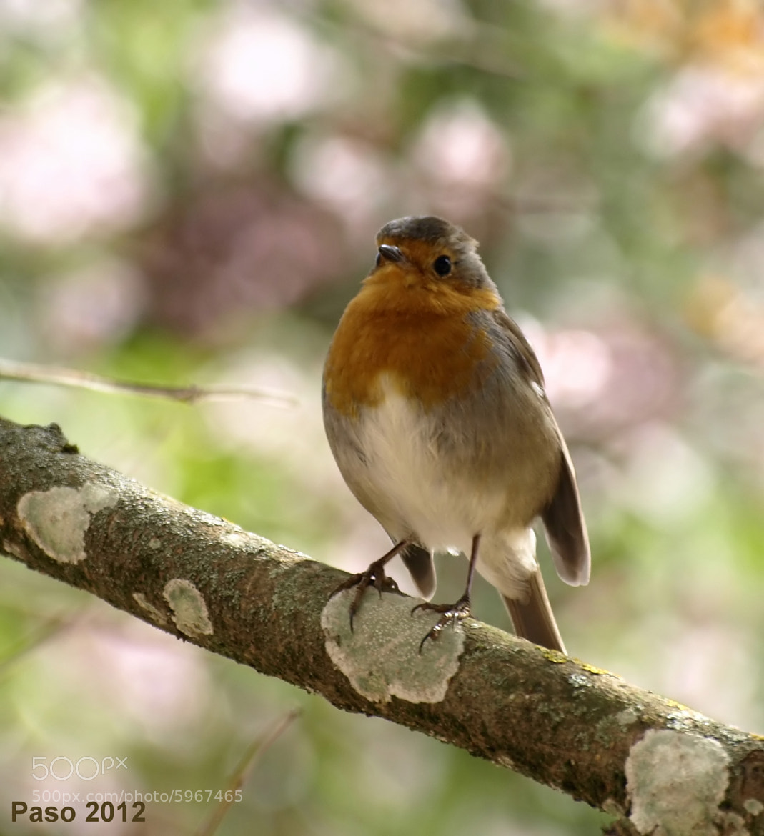 Photograph Erithacus rubecula(Petirrojo) by Oly_21 on 500px