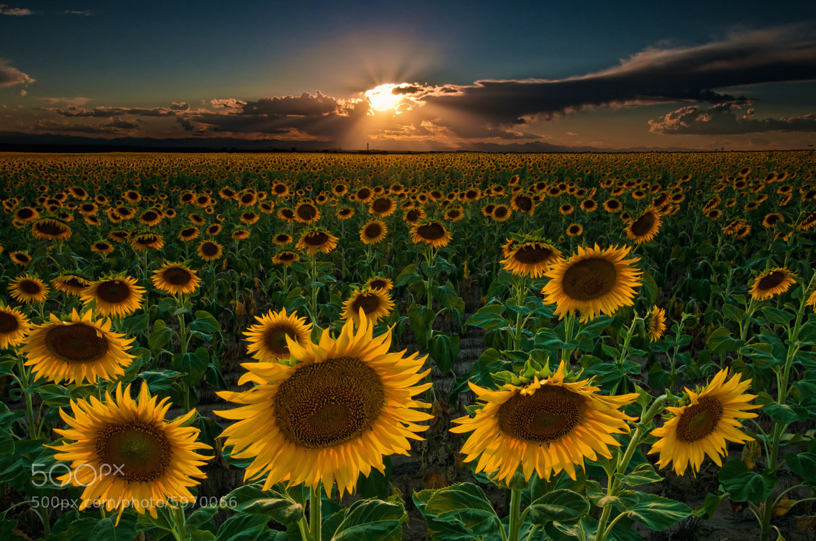 Photograph Sunflowers Forever by Mike Berenson - Colorado Captures on 500px
