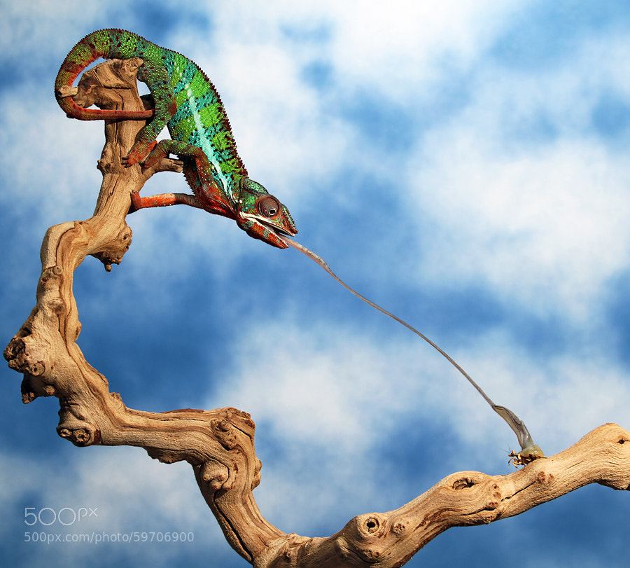 Photograph Chameleon Tongue Shot by Scott Cromwell on 500px