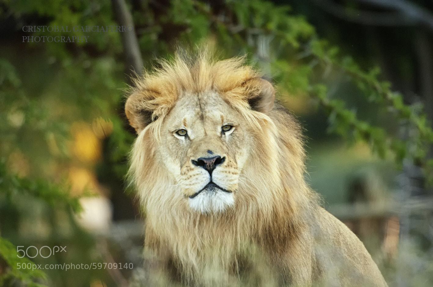 Photograph Lion King by Cristobal Garciaferro Rubio on 500px