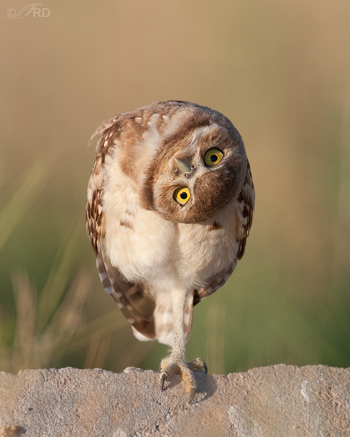 Photograph Curious Burrowing Owl by Ron Dudley on 500px