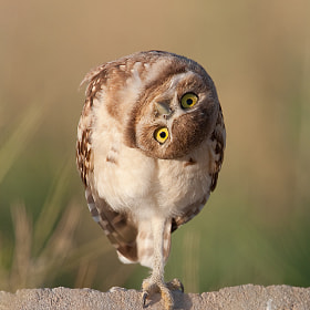 Curious Burrowing Owl by Ron Dudley (rondud) on 500px.com