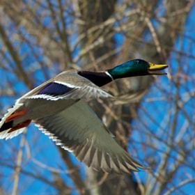 Flying Mallard Drake by Steve Johnson (stevej46) on 500px.com