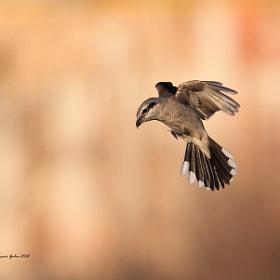 Nothern Shrike (pie-grièche grise) by Jean-François Gaudreau (Godro) on 500px.com