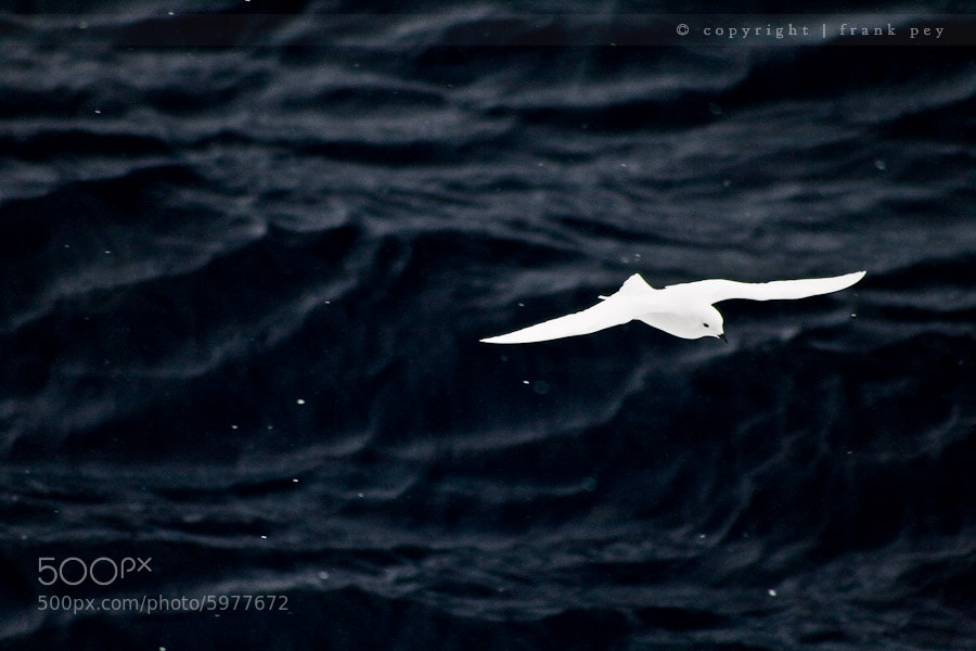 Photograph Snow Petrel by Frank Pey on 500px