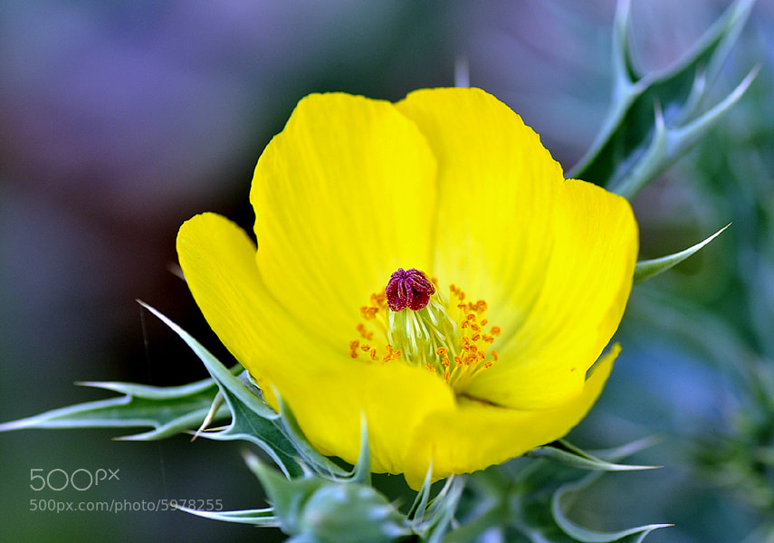 Photograph Prickly Poppy. by Mosaddeque Rahman on 500px