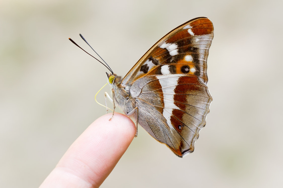 Photograph Purple Emperor by Gillian Thompson on 500px