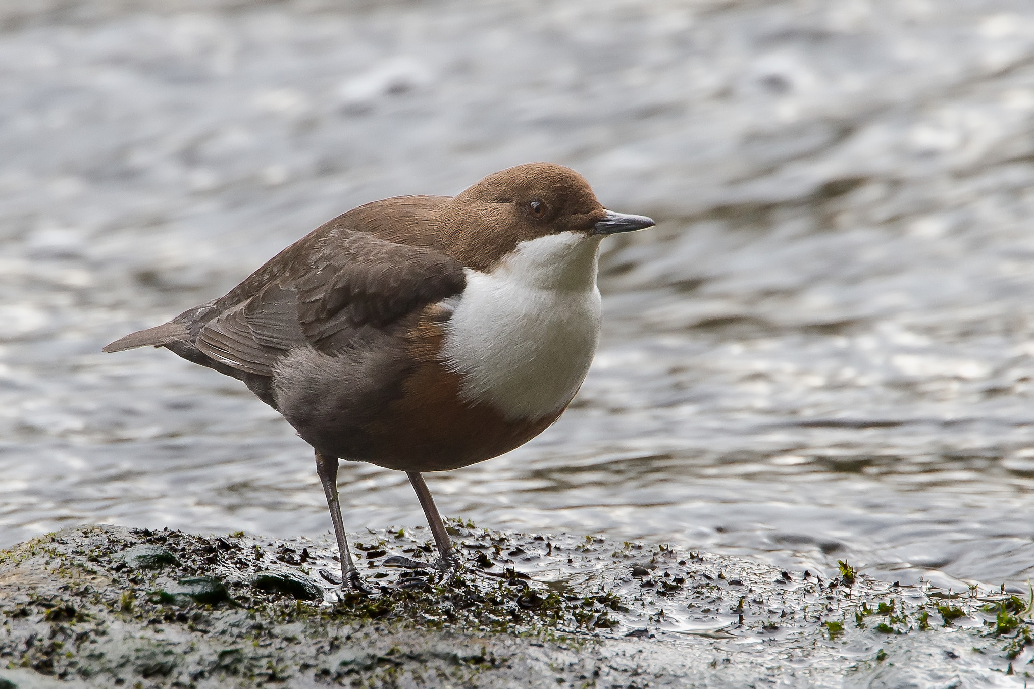 Photograph Dipper by Neil Brimacombe on 500px