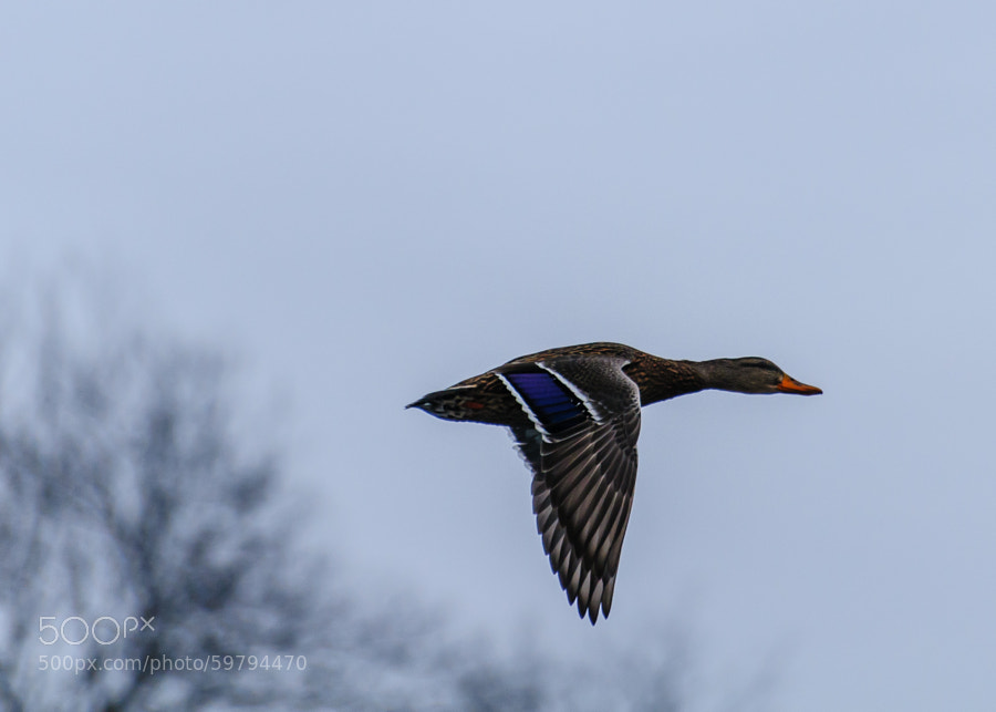Actually a grey yonder, it was cloudy and the sun was trying to break through.  This duck caught me by suprise shooting in front of me so I was not able to correct for the sky, but I love the colorations of the feathers.