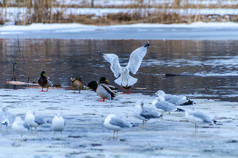 """I can just hear the mallard in the back left muttering """"Always a dramatic entrance!"""""""