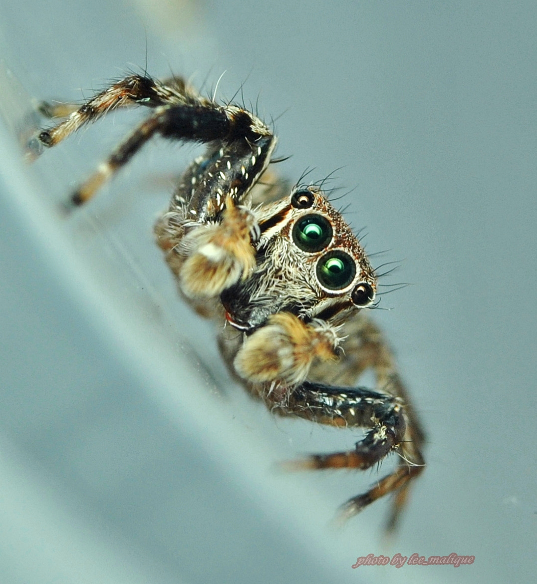 Photograph jumping spider by Mohd Azli Abdul Malek on 500px