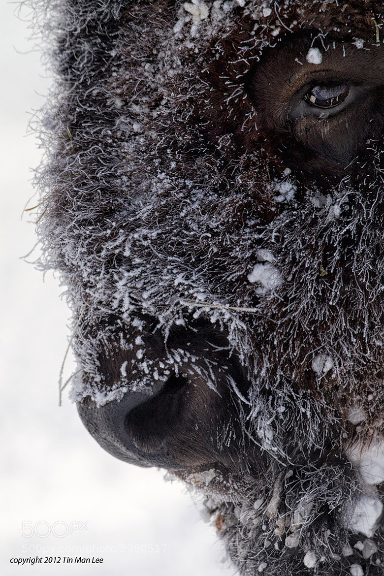Photograph Bison Winter Portrait by Tin Man on 500px