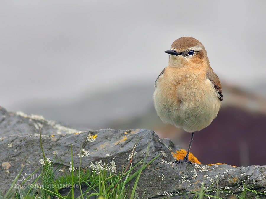 Photograph Wheatear on one leg by Roy Churchill on 500px