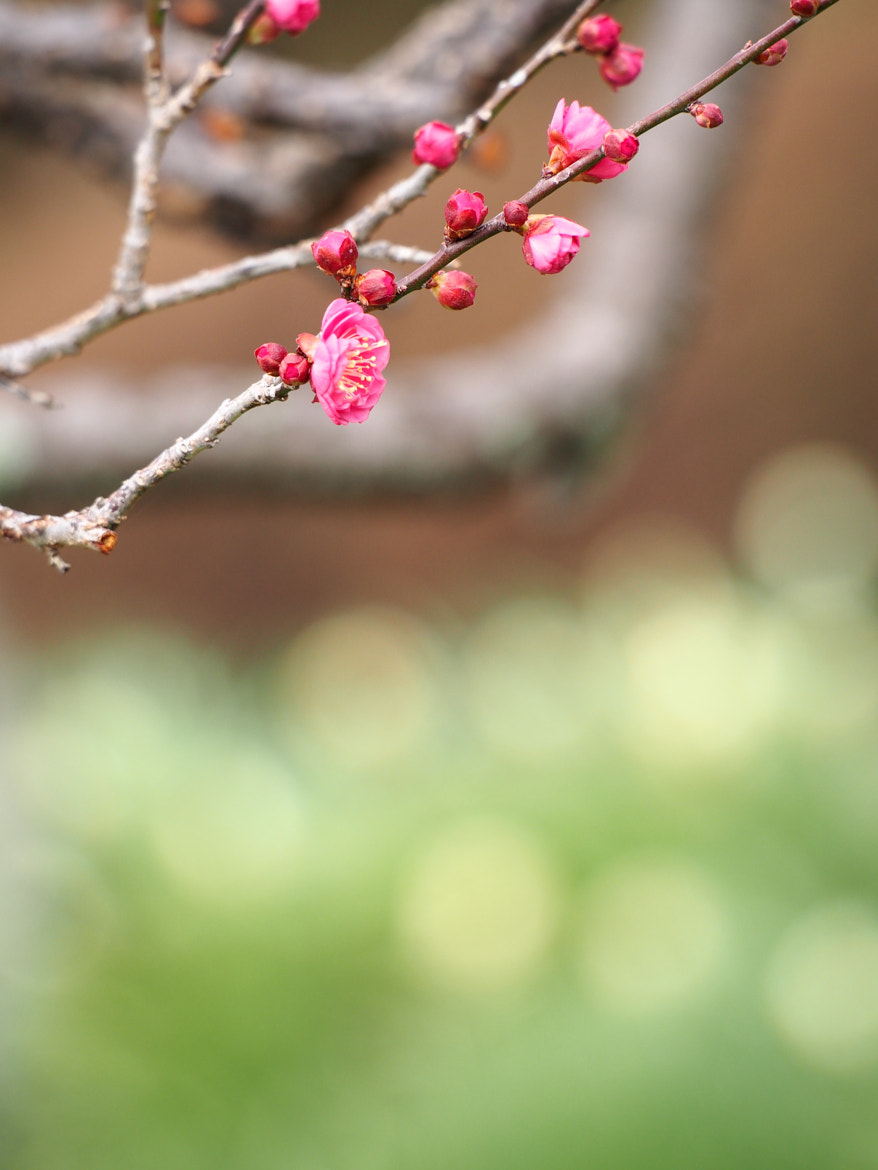 Photograph First blooming by Kaz Watanabe on 500px