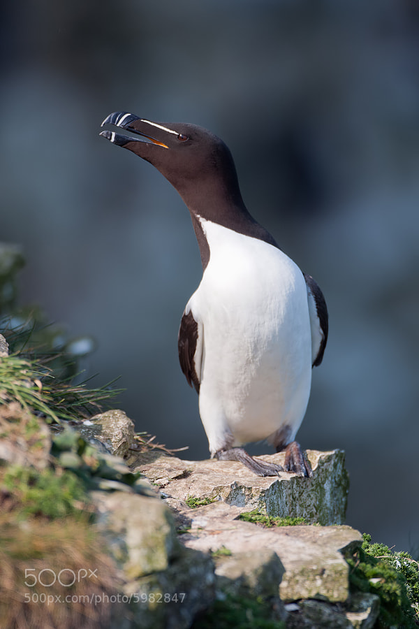 Photograph Razorbill by Nigel  Pye on 500px