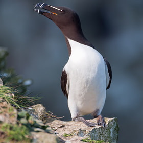 Razorbill by Nigel  Pye (npye)) on 500px.com