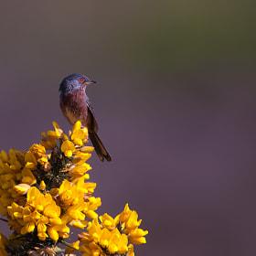 Dartford Warbler by Nigel  Pye (npye) on 500px.com