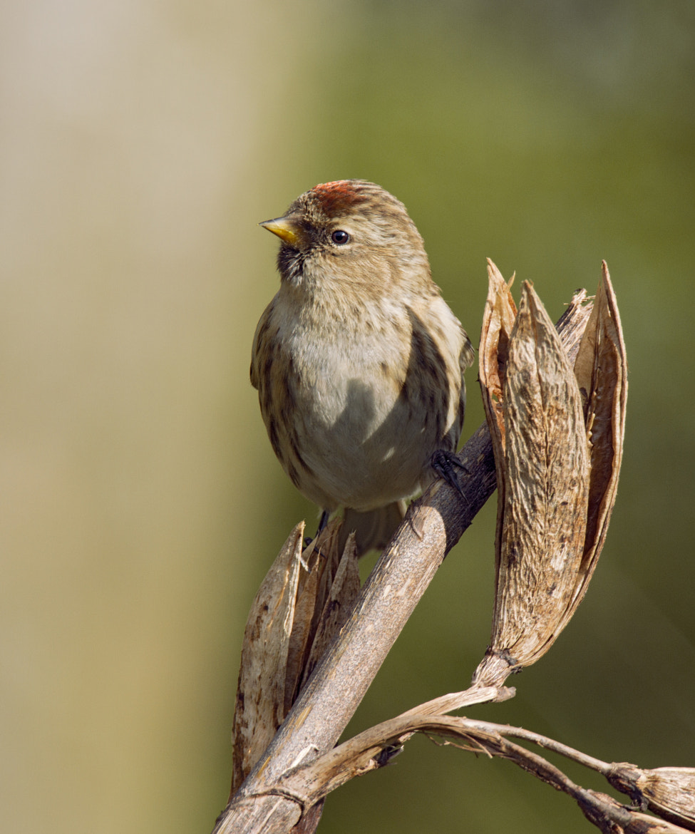 Photograph Lesser Redpoll (Carduelis cabaret) by Sylvia Fresson on 500px