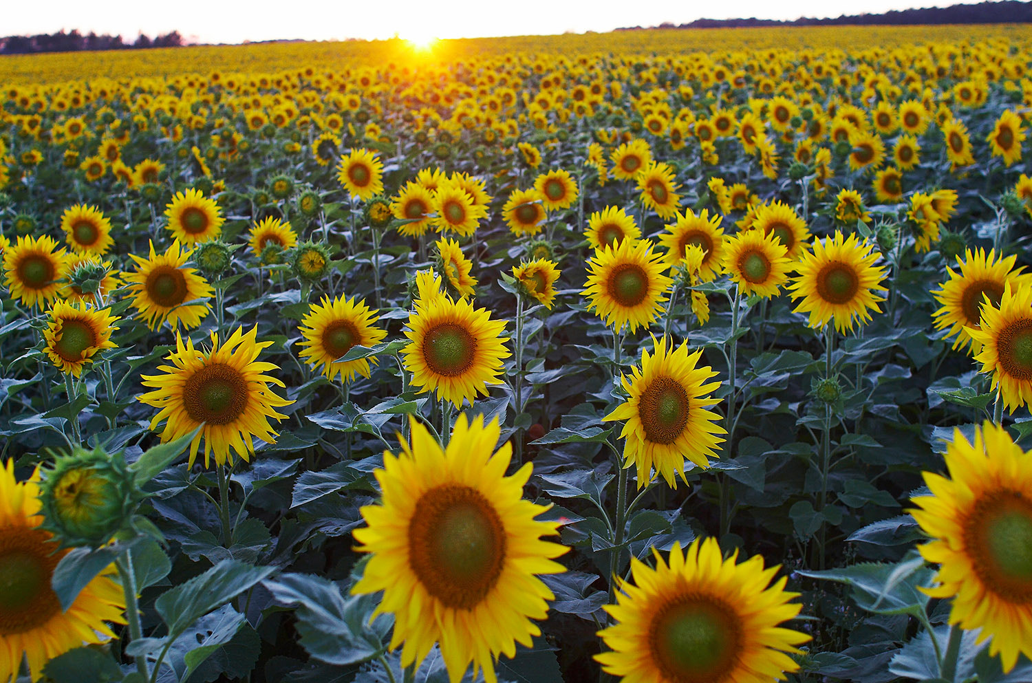 Photograph sunflowers by Ian Taylor on 500px