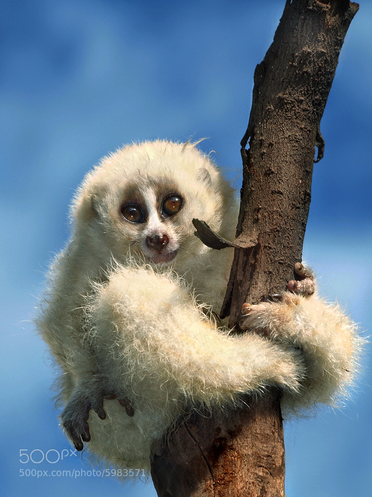 Photograph Javan Slow Loris by Irawan Subingar on 500px