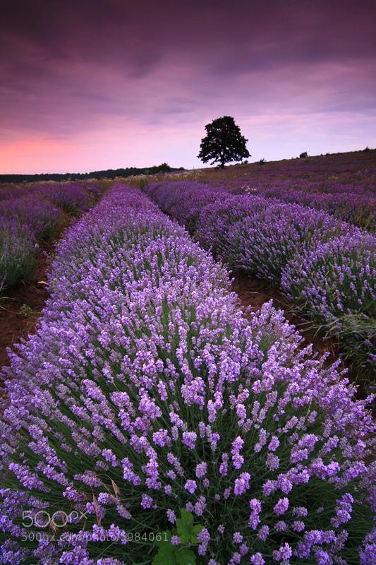 Photograph Lavender Season by Pavel Pronin on 500px