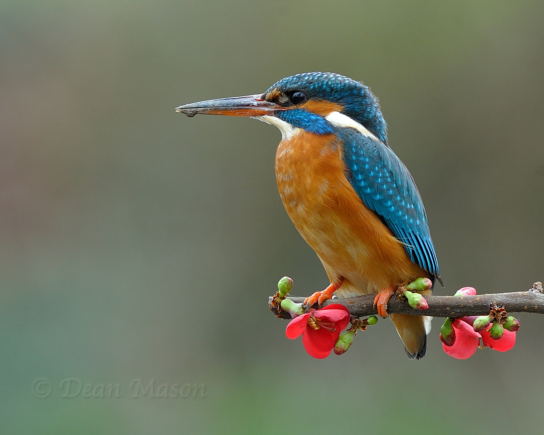 Photograph Kingfisher on Quince by Dean Mason on 500px