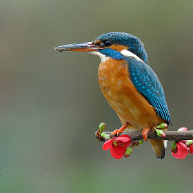 Kingfisher on Quince by Dean Mason (DeanMason) on 500px.com