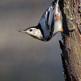 White-Breasted Nuthatch by Bill Tiepelman (oddballz) on 500px.com
