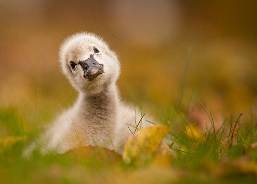 Photograph Black swan baby by Robert Adamec on 500px